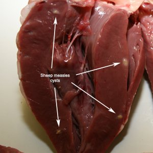 Viable sheep measles cysts in sheep heart. Source-David Jenkins