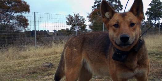 collared dingo DPI Active 25 frb 16- June-with-collar