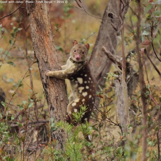quoll-with-collar-photo-trent-forge-posted-by-guy-ballard-2-facebook-at-work-2016-10-03