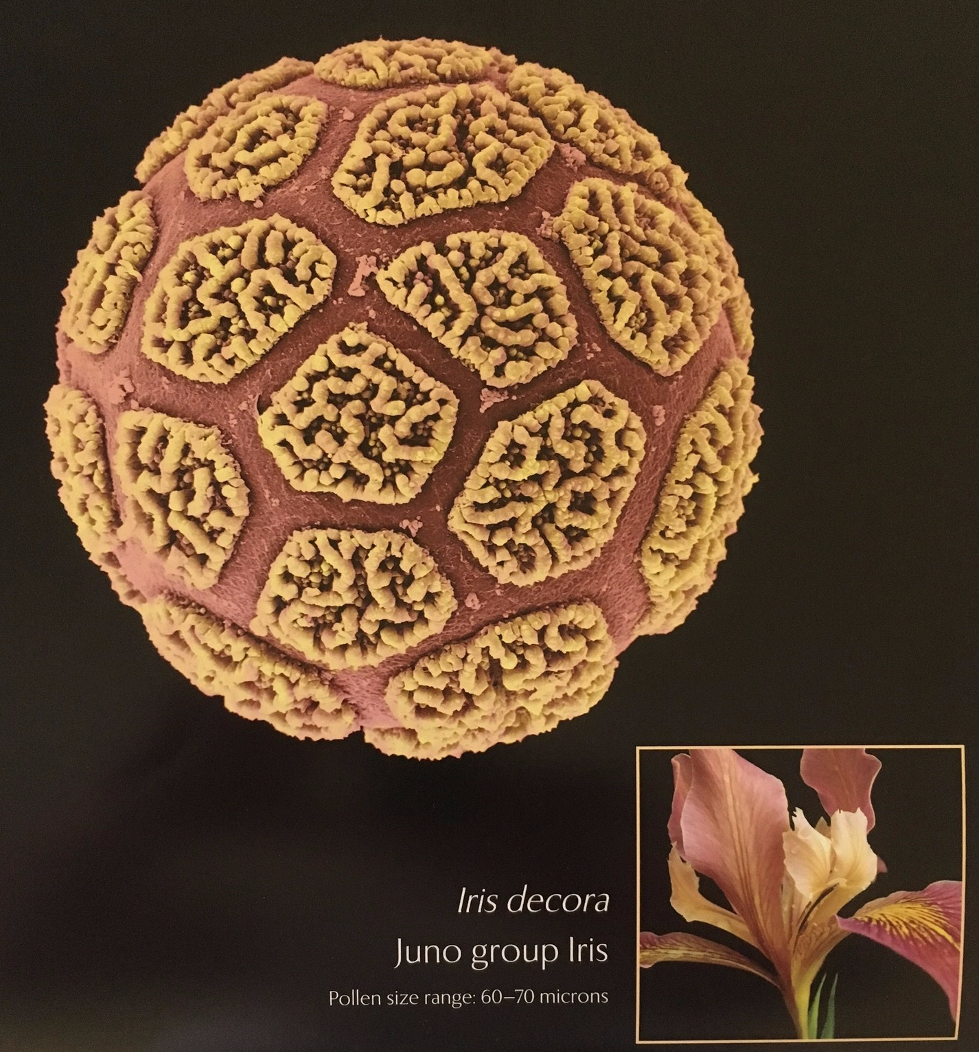 iris-pollen-img_0604.jpg
