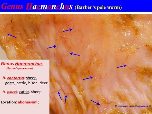 haemonchus-on-abomasal-mucosa-photo-c-constantinoiu
